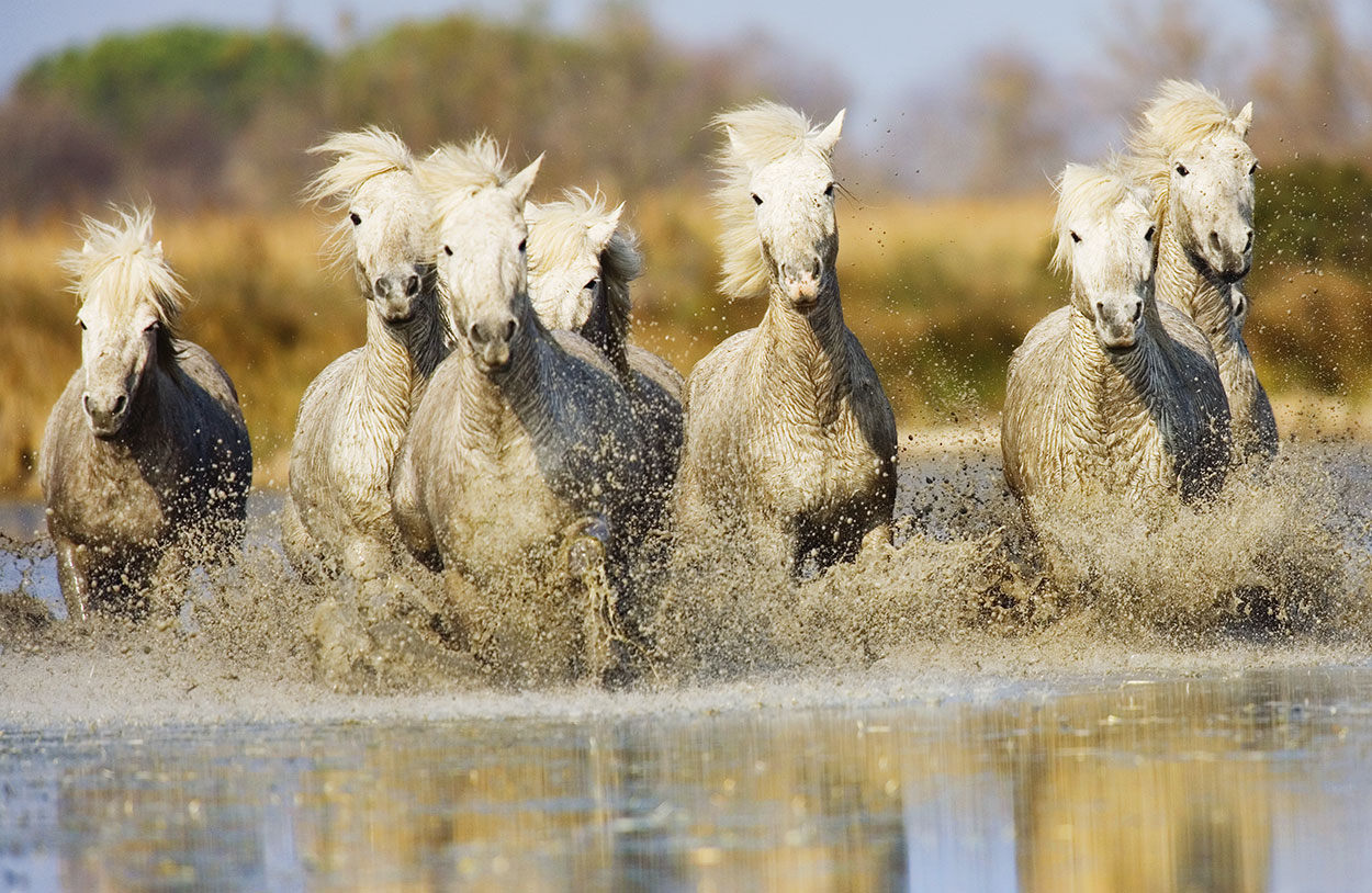 The White horses of the Camargue, France, April 2014
