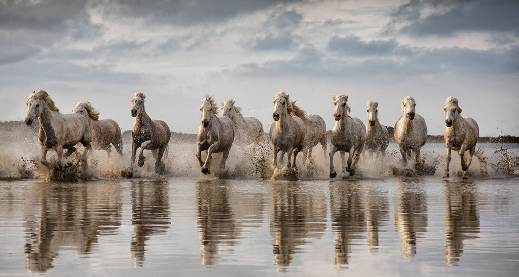 White Camargue horses running through the water