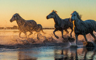 The white horses of the Camargue 2018