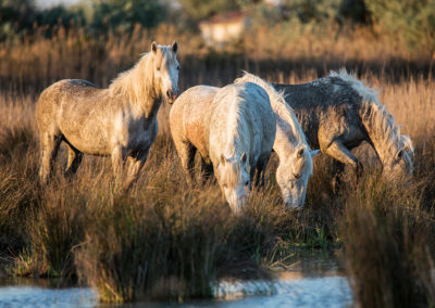 The White Horses of the Camargue by the water in the South of Fr