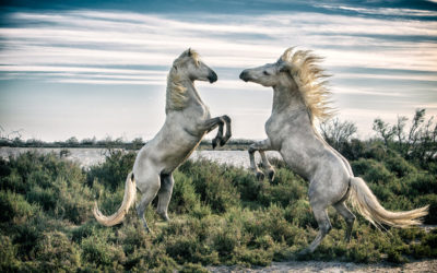 The white horses of the Camargue,  France 2016