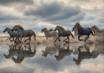 The White Horses of the Camargue running in the water in the Sou