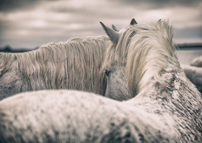 The white horses of the Camargue in the south of France